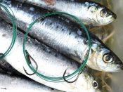 Füttern und Fischen mit Meeres-Köfis 1 Web